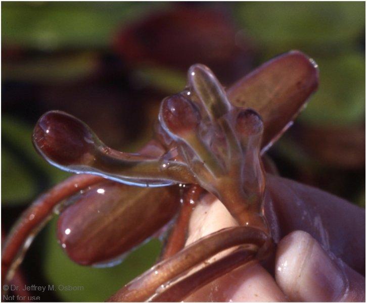 brasenia-slime