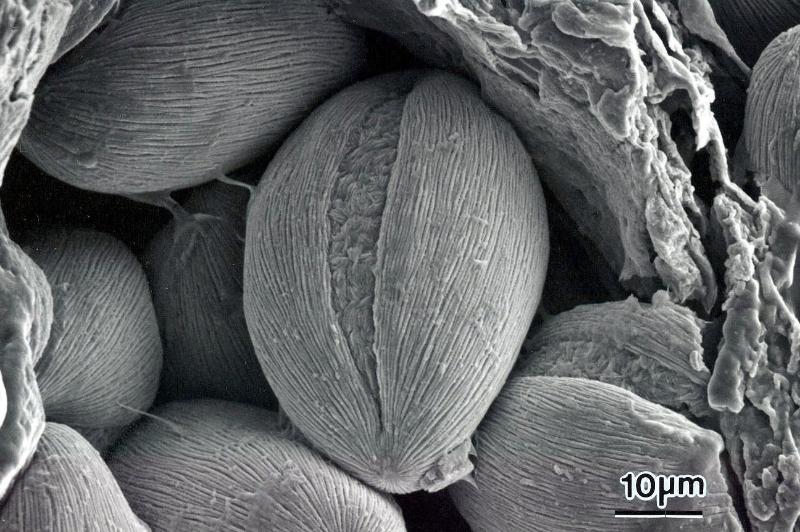 Cabomba-Pollen-in-Locule