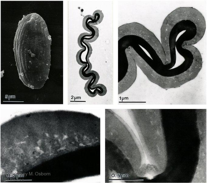 Ephedroid-pollen