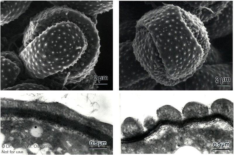 Podostemum-pollen